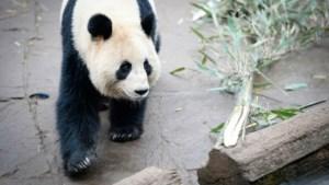 Zoo van Antwerpen laat panda voor de deur staan (video)