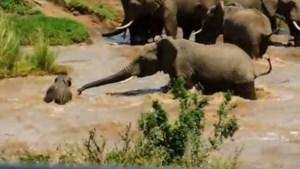 Olifanten redden kalf van verdrinkingsdood (video)