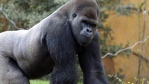Man verkleed als gorilla neergeschoten in zoo door veearts die