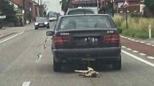 Man rijdt rond met varkentje achter zijn wagen