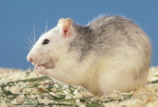 Rattenhuid is het nieuwe bont